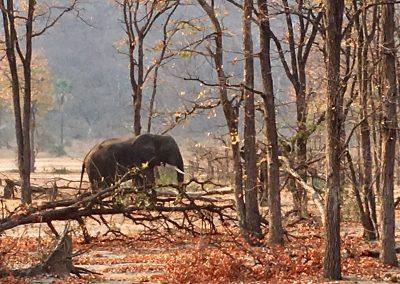 Elephant - Liwonde National Park