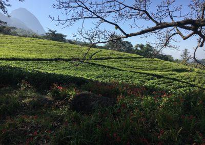 Hill's tea - Mulanje - Malawi