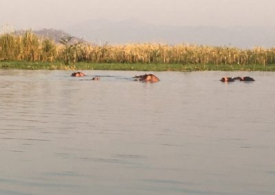 Hippos in Liwonde National Park