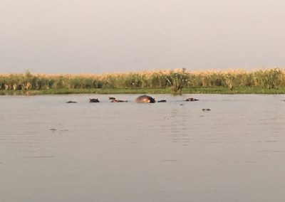 Hippos in the river - Liwonde National Park