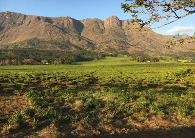 Mountains and tea - Mulanje - Malawi