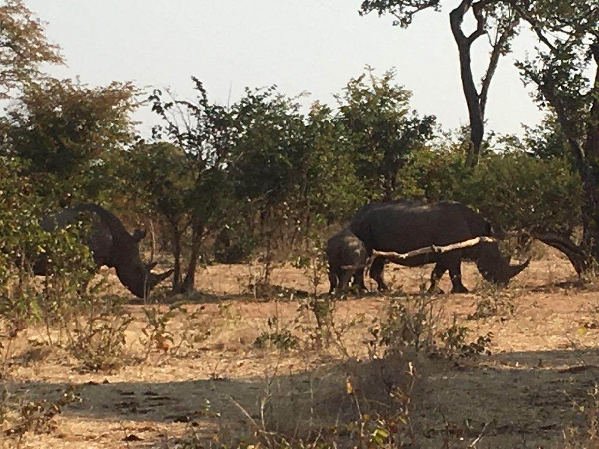 Rhinos group in Zambia - Zambia Malawi Mozambico 2018
