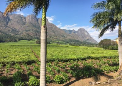 Tea plantation - Mulanje - Malawi