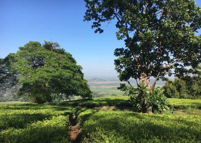 Walking through tea plantation - Mulanje - Malawi