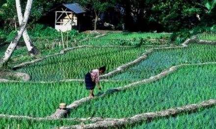 Campi di riso – Flores – Indonesia