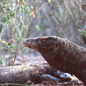 Komodo's dragon - Indonesia