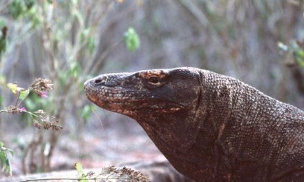 Komodo dragons – Indonesia
