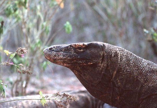 Komodo dragons – Indonesia