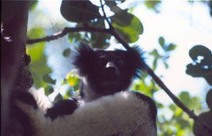 Indri Indri Madagascar