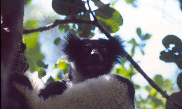 Indri Indri chant – Andasibe Madagascar